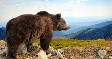 Brown Bear, Alaska
