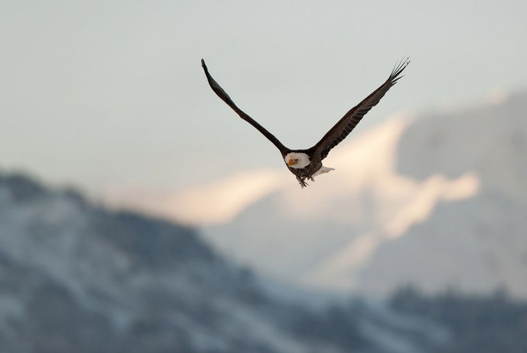 Flying eagle over snow-covered mountains, Alaska
