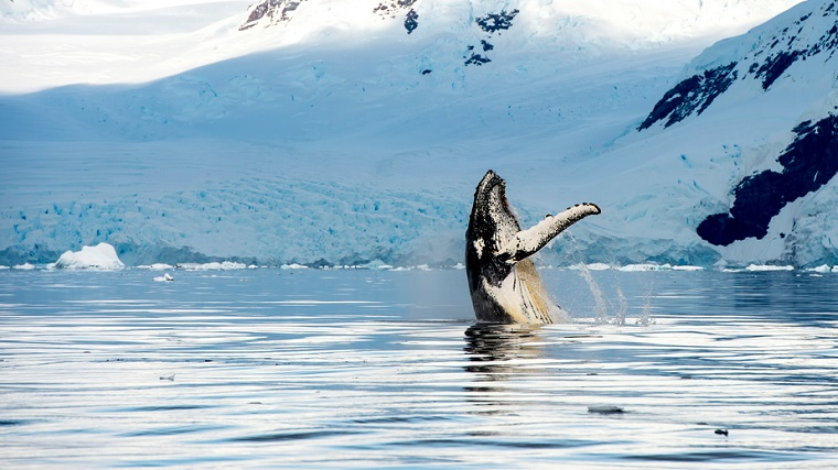 Hampback whale breaching, Alaska