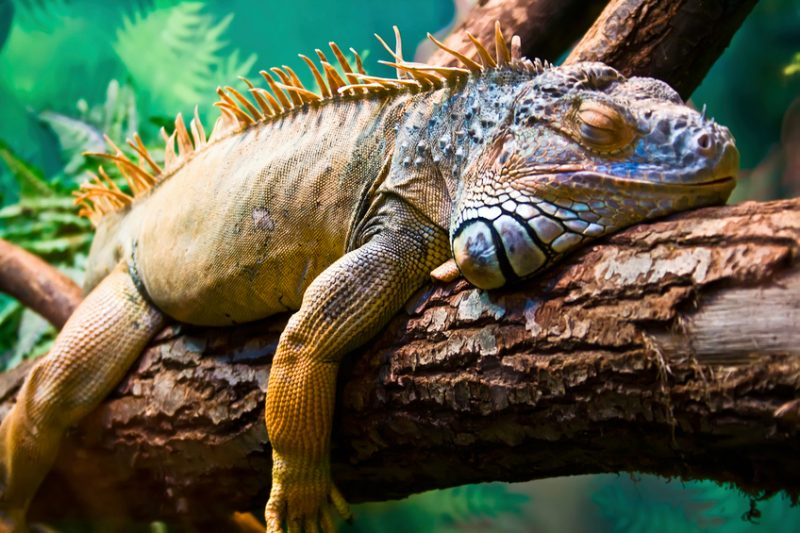 Lazy Iguana lying along the branch in the Galapagos Island