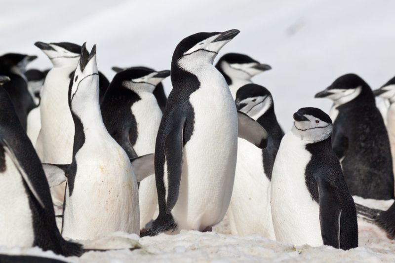 Crowded group of chinstrap penguins