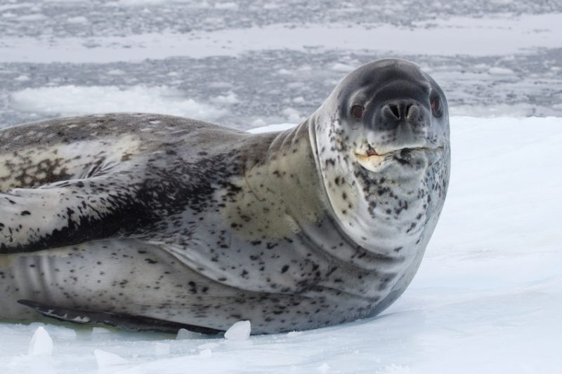 large male leopard seal sea on an ice
