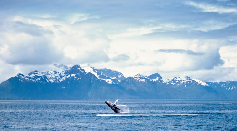 Humpback whale breach. Frederick Sound, SW Alaska