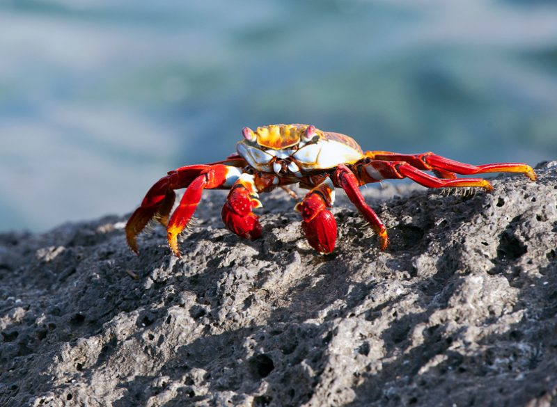 A Sally Lightfoot crab places a tiny morsel into its mouth using its claws whilst clinging to the rocky lava seashore of the Galapagos Islands, Ecuador
