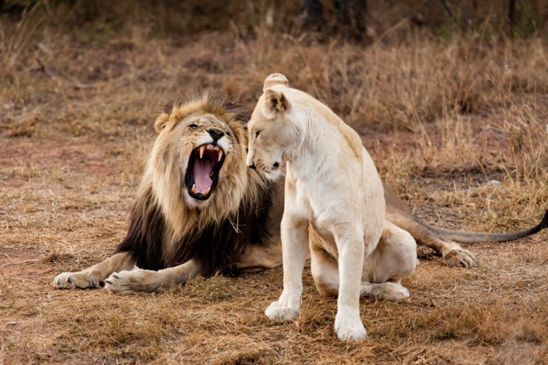 Male Lion roaring to female lion