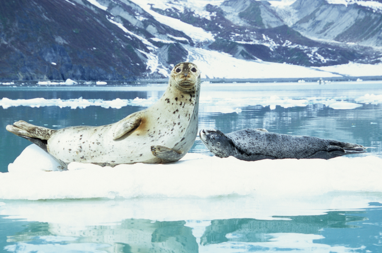a Harbor Seal mother and pup rest on an iceberg in Glacier Bay, Alaska