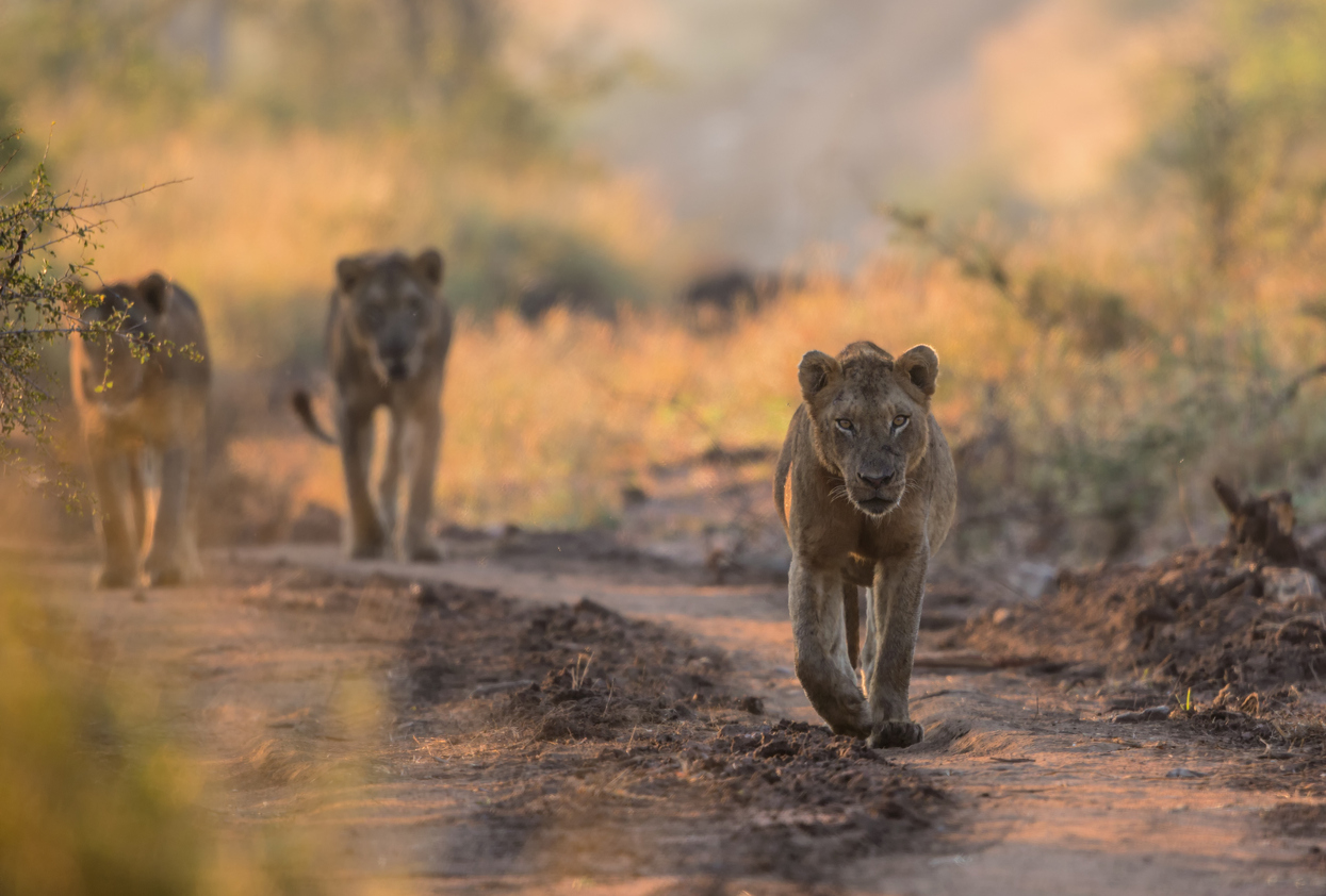 Young Male Lions in Kruger National Park