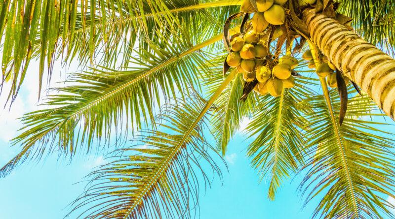 Sandy beach with coconut palm