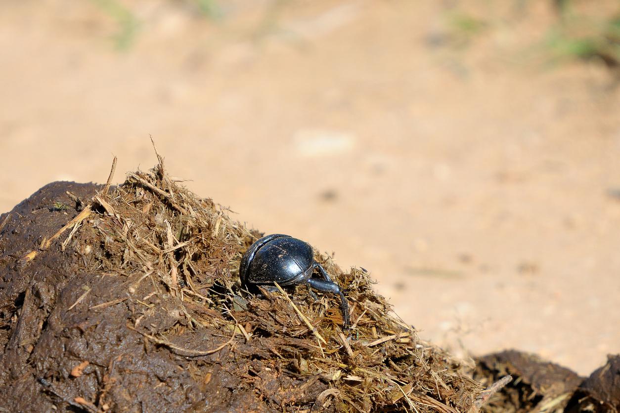 Flightless Dung Beetle, Addo Elephant National Park, South Africa.