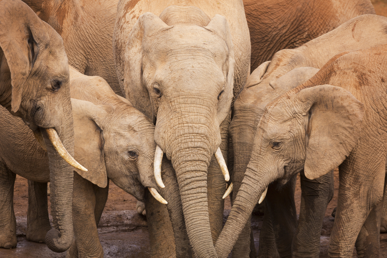 A herd of elephants at a waterhole in Addo Elephant National Park, South Africa.