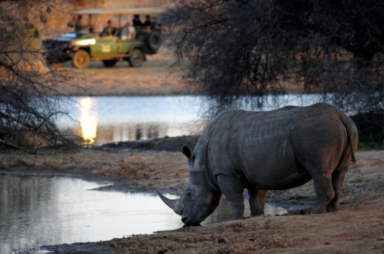 white rhino drinking, sighting from a safari car