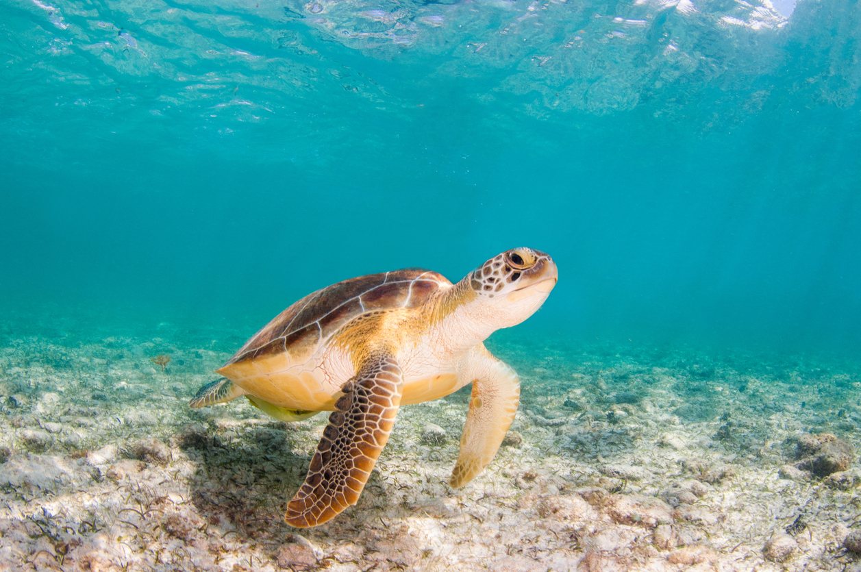Free swimming sea turtle, Grand Cayman, Cayman Islands.