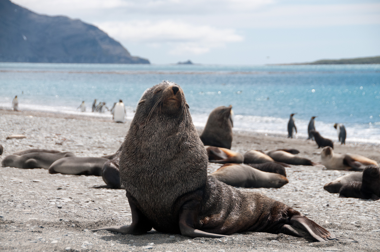 Fur Seals on South Georgia's Salisbury Plains
