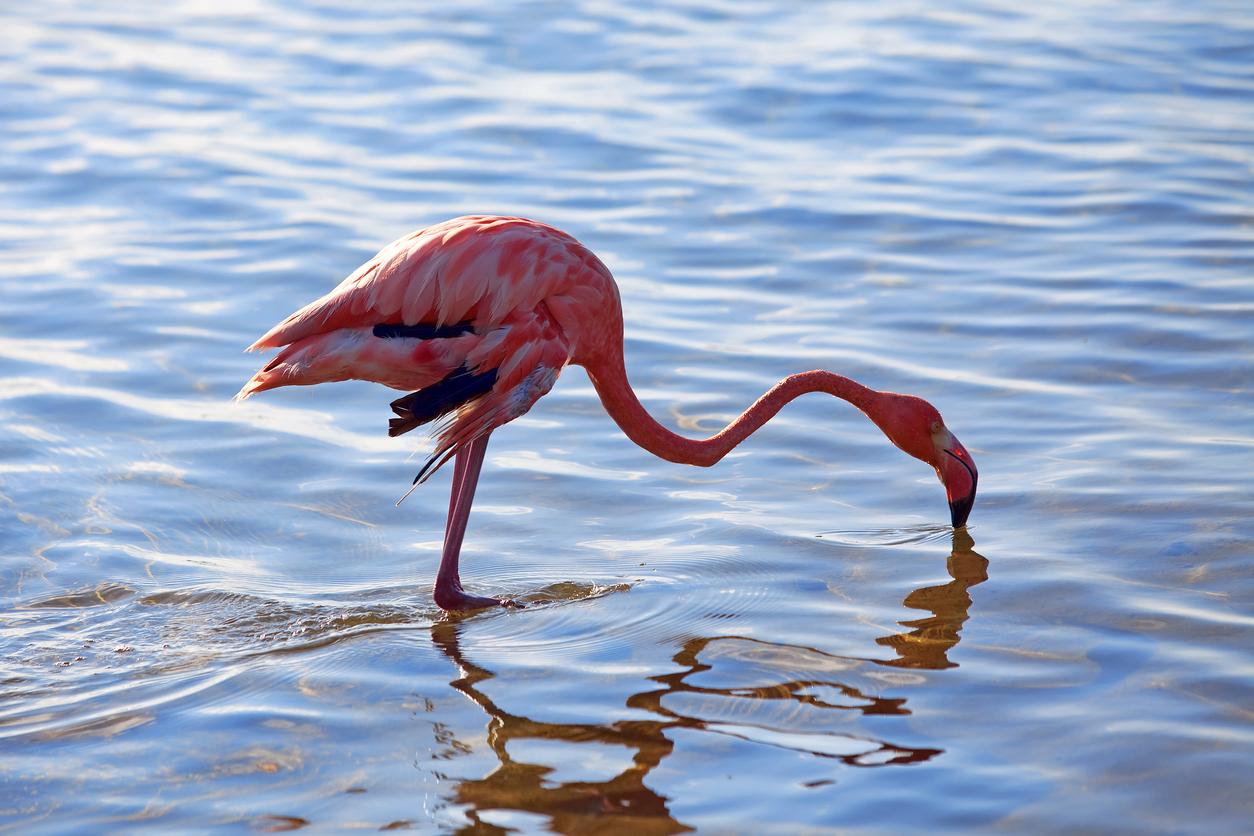 Caribbean flamingo at the flamingo sanctuary on Bonaire