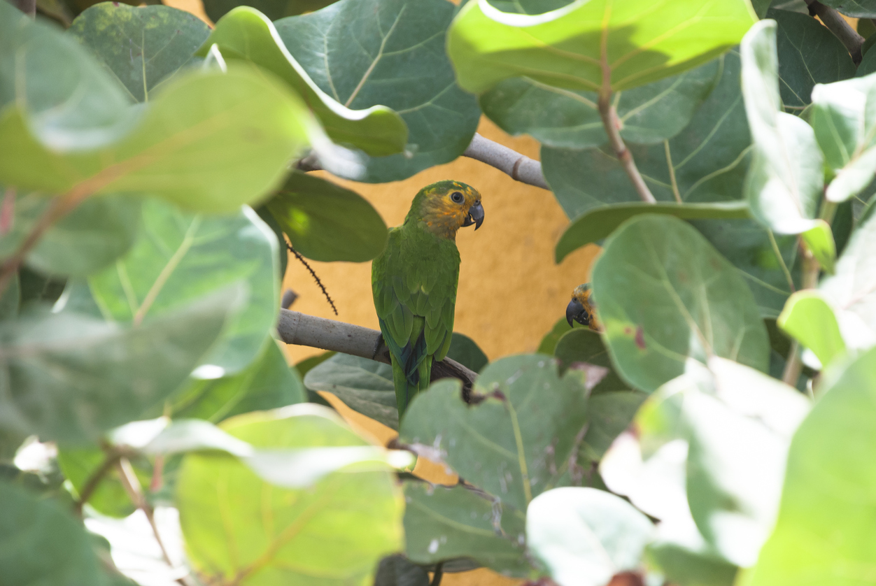 Yellow-shouldered parrot (lora)