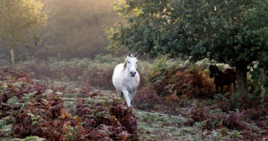white horse trotting through dew covered bracken, sunlight at dawn comes through mist from behind trees, a second horse can be seen emerging from behind tree, the new forest national park, southern england, uk