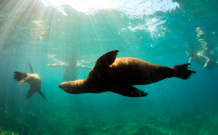 Sea lions swimming around snorkelers in the Galapagos Islands