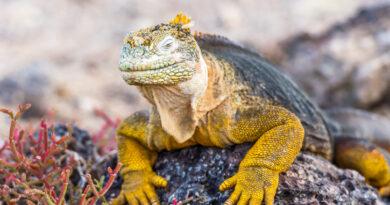 Wild land iguana (Conolophus pallidus) on Santa Fe island in Galapagos, Ecuador