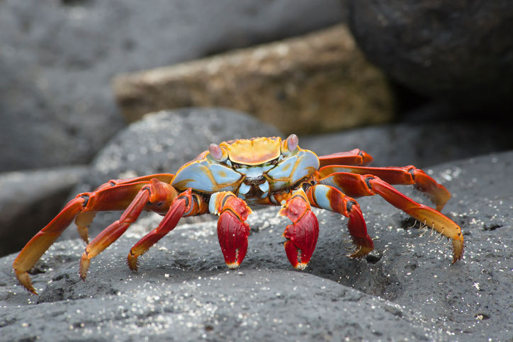 Taken of a Sally Lightfoot Crab in the Galapagos Islands