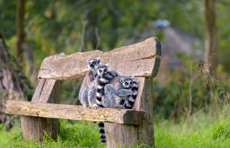 Cute and cuddly ring tail leamurs bunched up on a bench