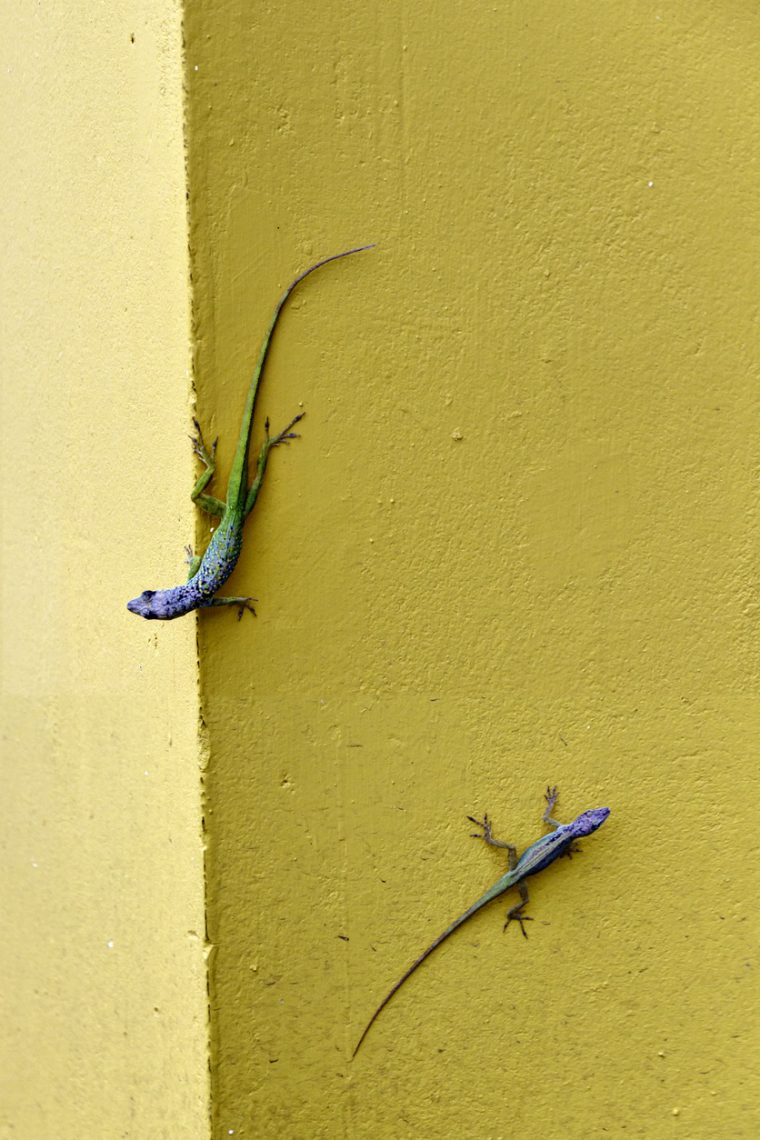 Lizards on wall in Speighstown, Barbados