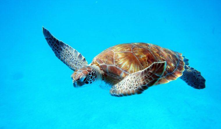 Single Sea Turtle in Barbados.